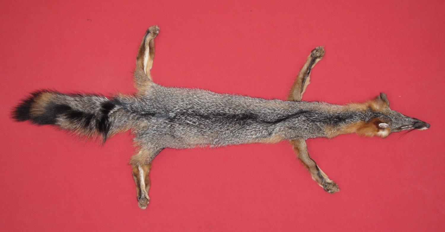 Tanned Taxidermy Grey Fox Hides Furs Pelts Skins For By Www Hideandfur