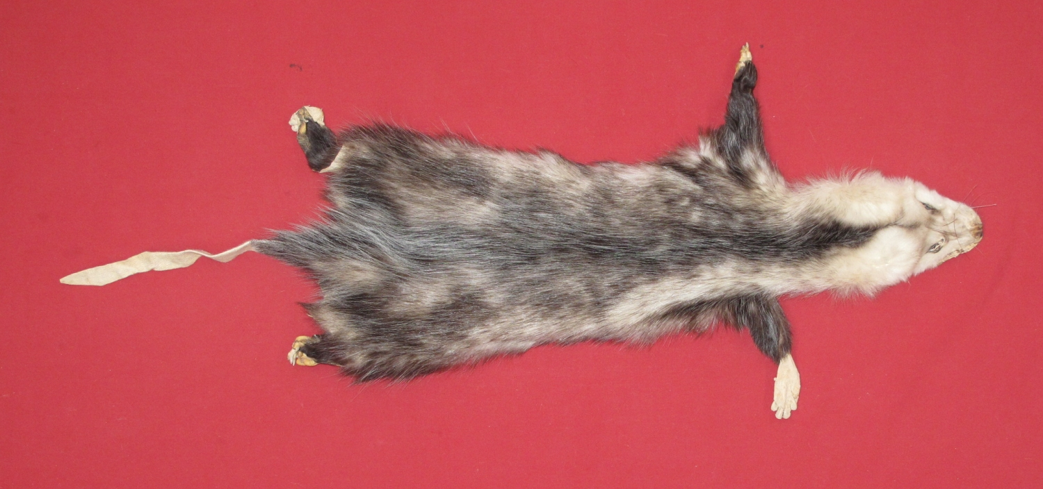 10b5ab3c946f4 Tanned Taxidermy Opossum Hides, Furs, Pelts, Skins for sale by www ...